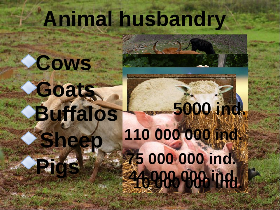 Animal husbandry Pigs Sheep Buffalos Goats Cows 5000 ind. 110 000 000 ind. 7...