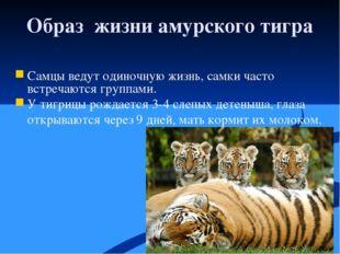 Образ жизни амурского тигра Самцы ведут одиночную жизнь, самки часто встречаю