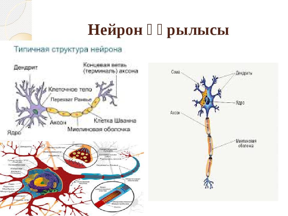 Нейрон құрылысы