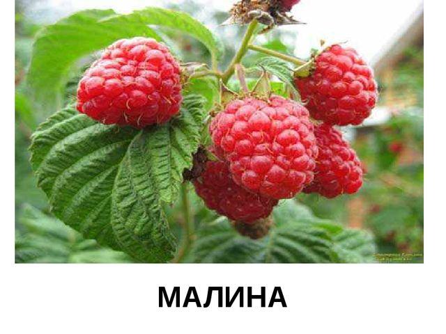 МАЛИНА