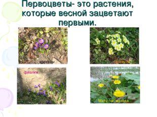 Первоцветы- это растения, которые весной зацветают первыми. фиалки Примула кр