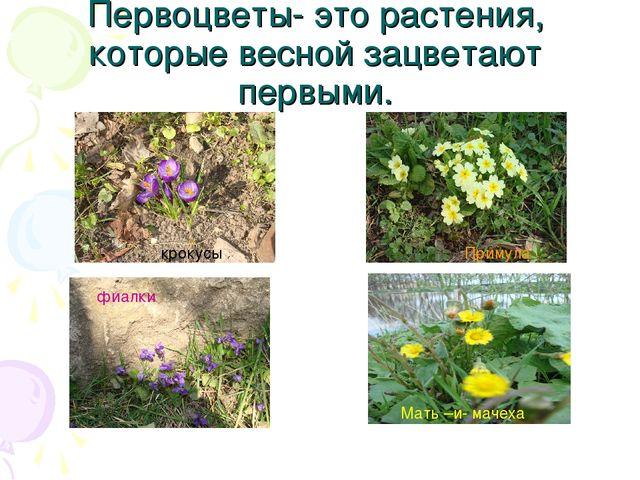 Первоцветы- это растения, которые весной зацветают первыми. фиалки Примула кр...