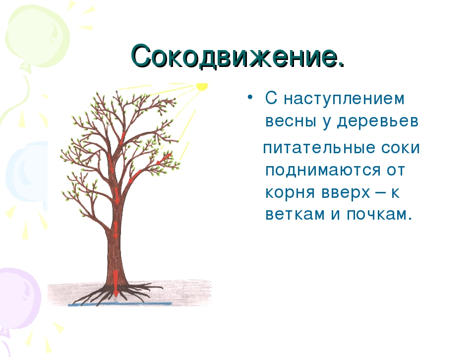 Сокодвижение. С наступлением весны у деревьев питательные соки поднимаются от...