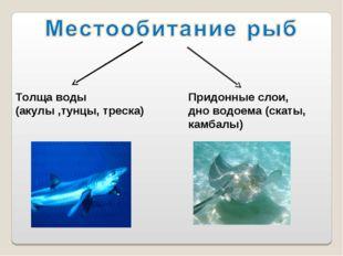 Толща воды (акулы ,тунцы, треска) Придонные слои, дно водоема (скаты, камбалы)