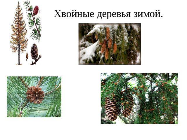 Хвойные деревья зимой.