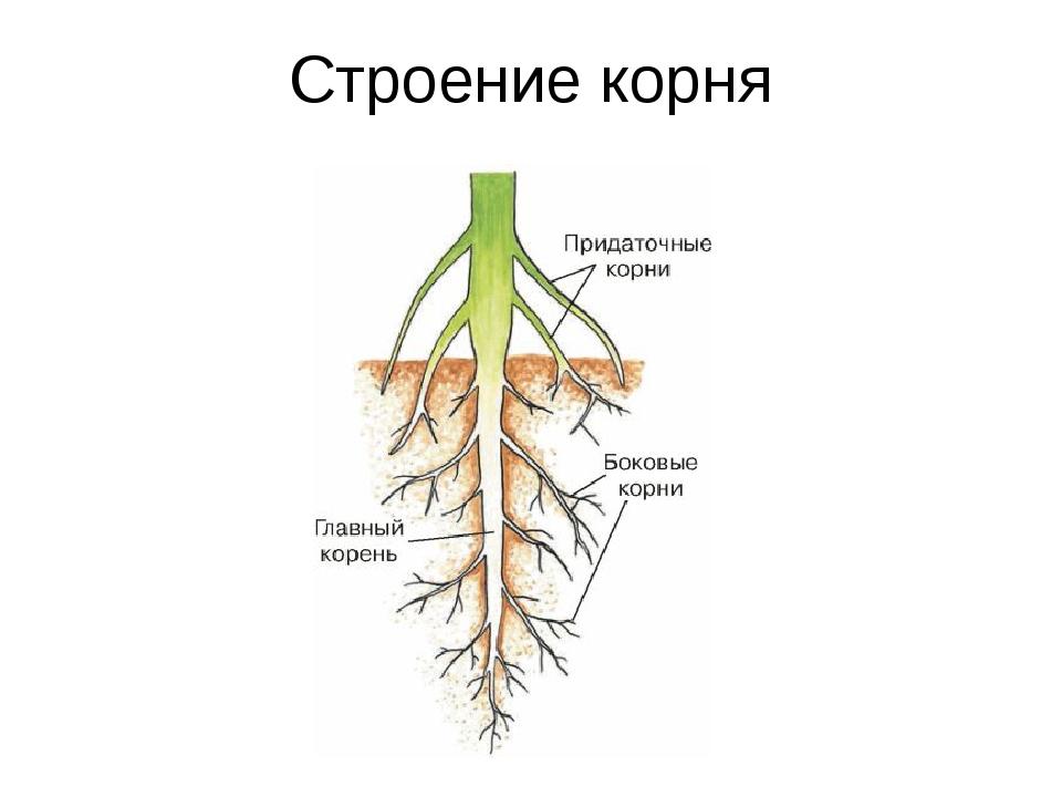Корень растения в картинках