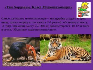 «Тип Хордовые. Класс Млекопитающие» Самое маленькое млекопитающие – землеройк