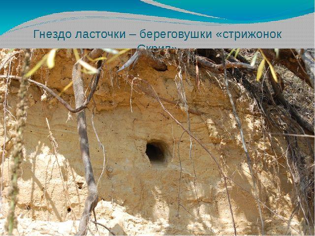 Гнездо ласточки – береговушки «стрижонок Скрип»
