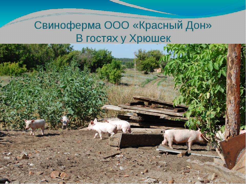 Свиноферма ООО «Красный Дон» В гостях у Хрюшек