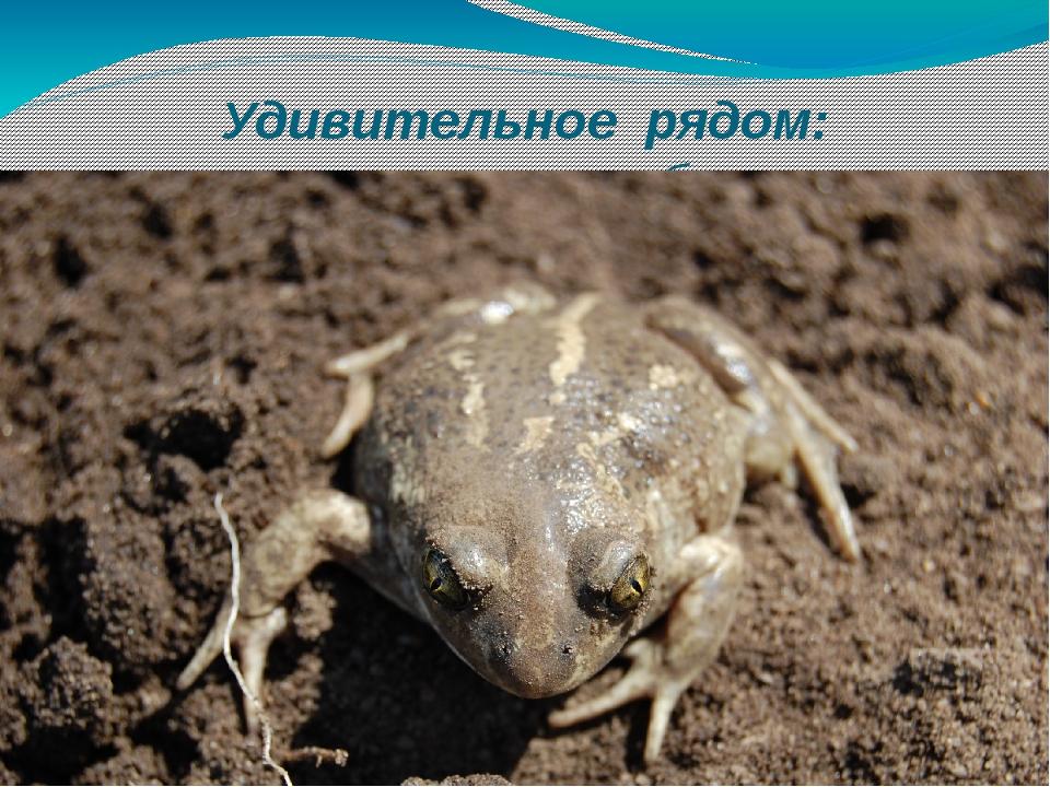 Удивительное рядом: земляная жаба