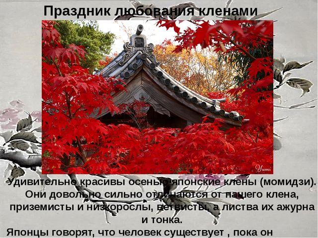 Праздник любования кленами Удивительно красивы осенью японские клены (момидзи...