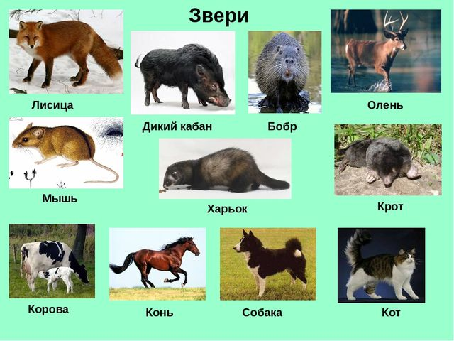 Звери Лисица Дикий кабан Олень Мышь Харьок Бобр Крот Корова Конь Собака Кот