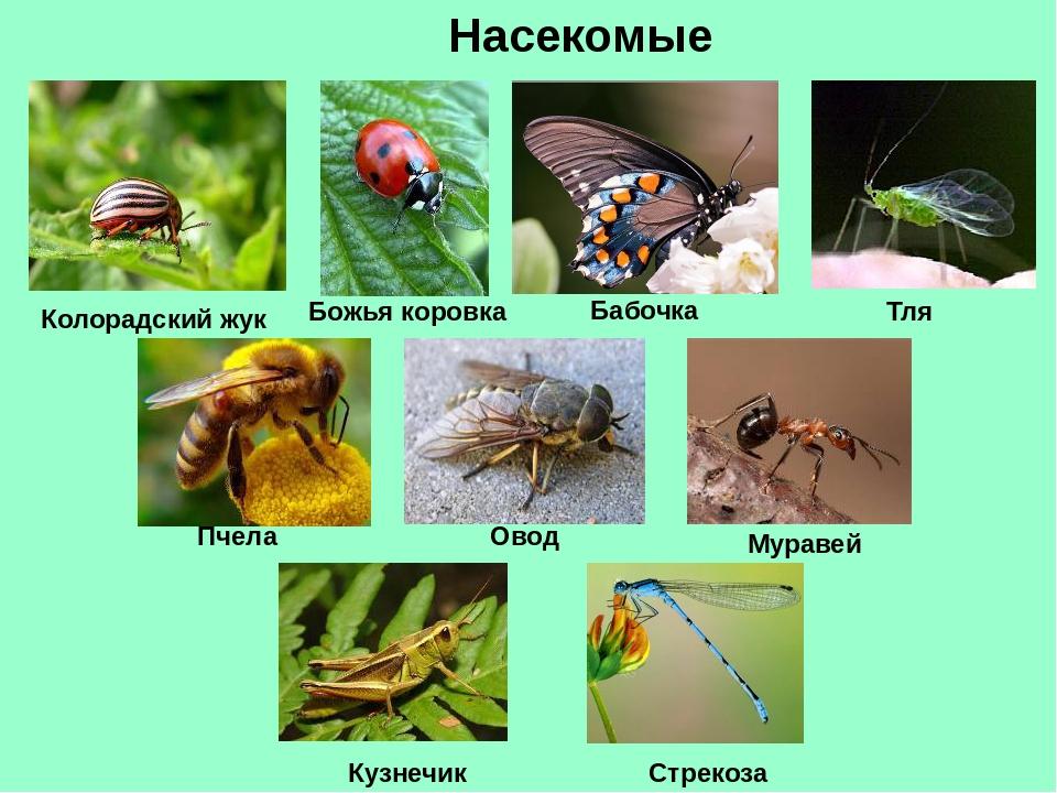 Насекомые Колорадский жук Божья коровка Тля Бабочка Пчела Овод Муравей Стреко...