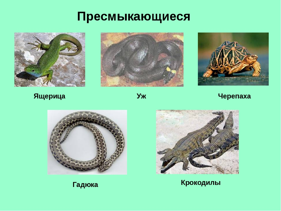 Пресмыкающиеся Ящерица Уж Черепаха Гадюка Крокодилы