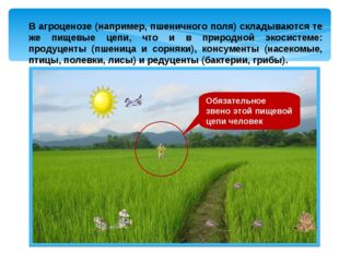В агроценозе (например, пшеничного поля) складываются те же пищевые цепи, что