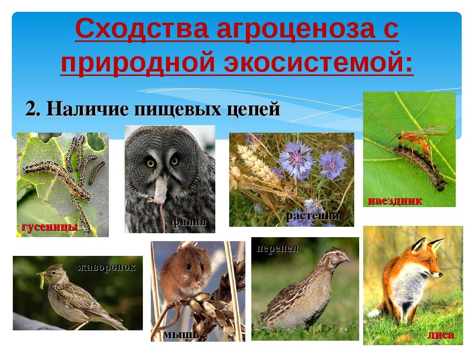 Сходства агроценоза с природной экосистемой: 2. Наличие пищевых цепей филин п...