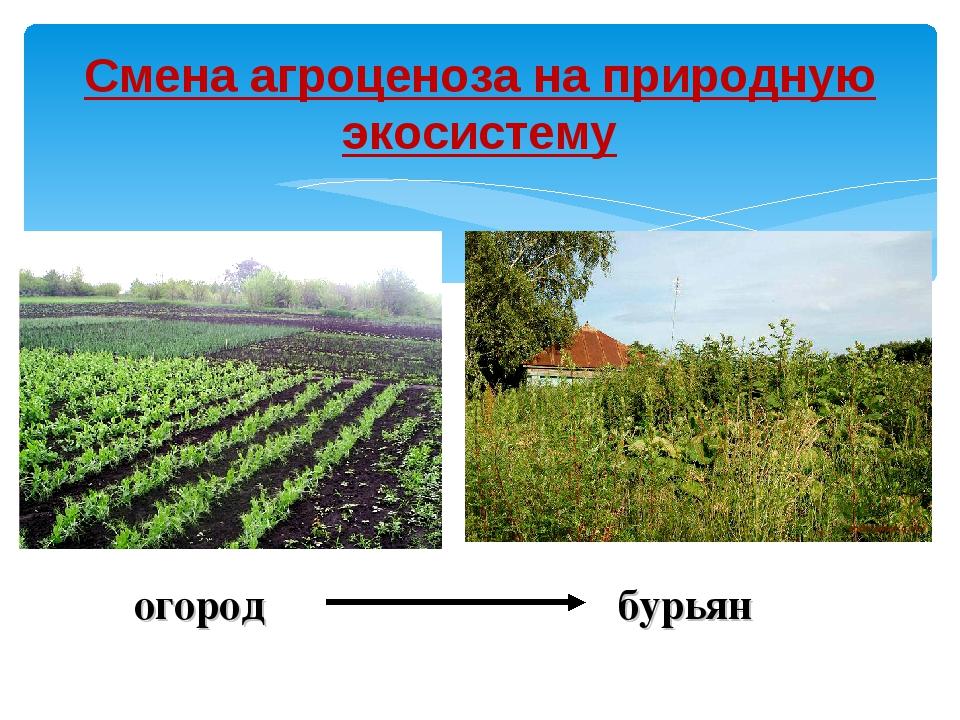 Смена агроценоза на природную экосистему огород бурьян