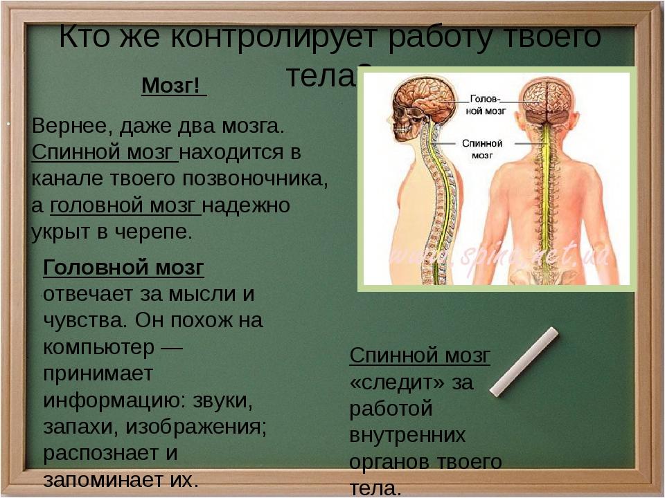 Кто же контролирует работу твоего тела? Мозг! Вернее, даже два мозга. Спинной...