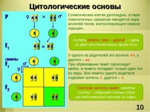 Соматические клетки диплоидны, в паре гомологичных хромосом находятся пара ал