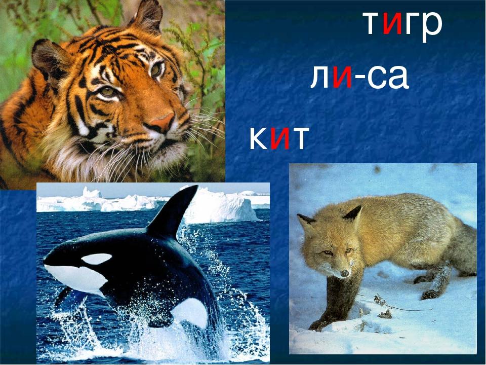 тигр ли-са кит