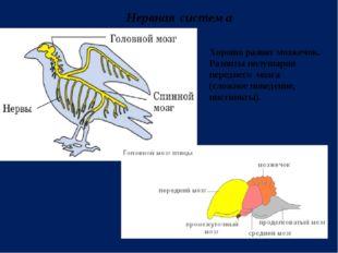 Нервная система Хорошо развит мозжечок. Развиты полушария переднего мозга (сл
