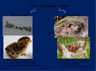 Типы развития птиц Выводковый Гнездовой Птенцы зрячие, опушенные, через некот