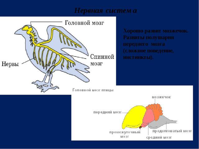 Нервная система Хорошо развит мозжечок. Развиты полушария переднего мозга (сл...