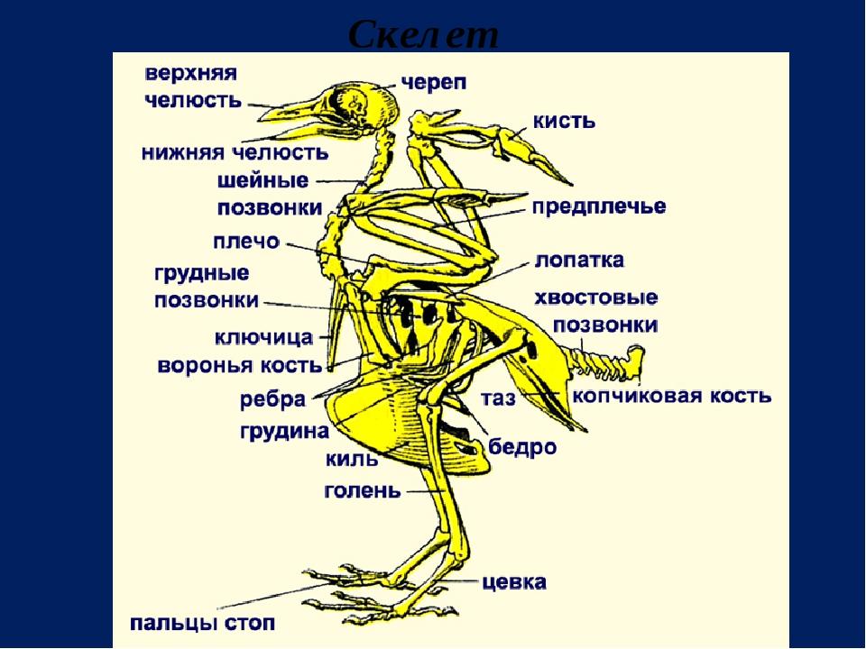 "Презентация по биологии на тему ""Класс Птицы. Общая характеристика класса"""