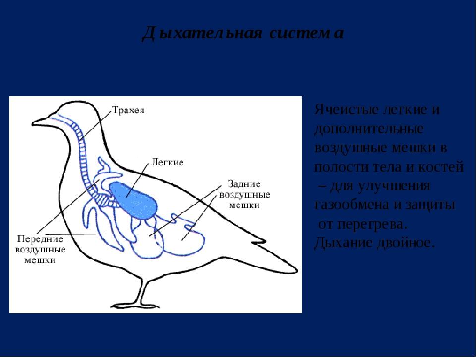 Дыхательная система Ячеистые легкие и дополнительные воздушные мешки в полост...
