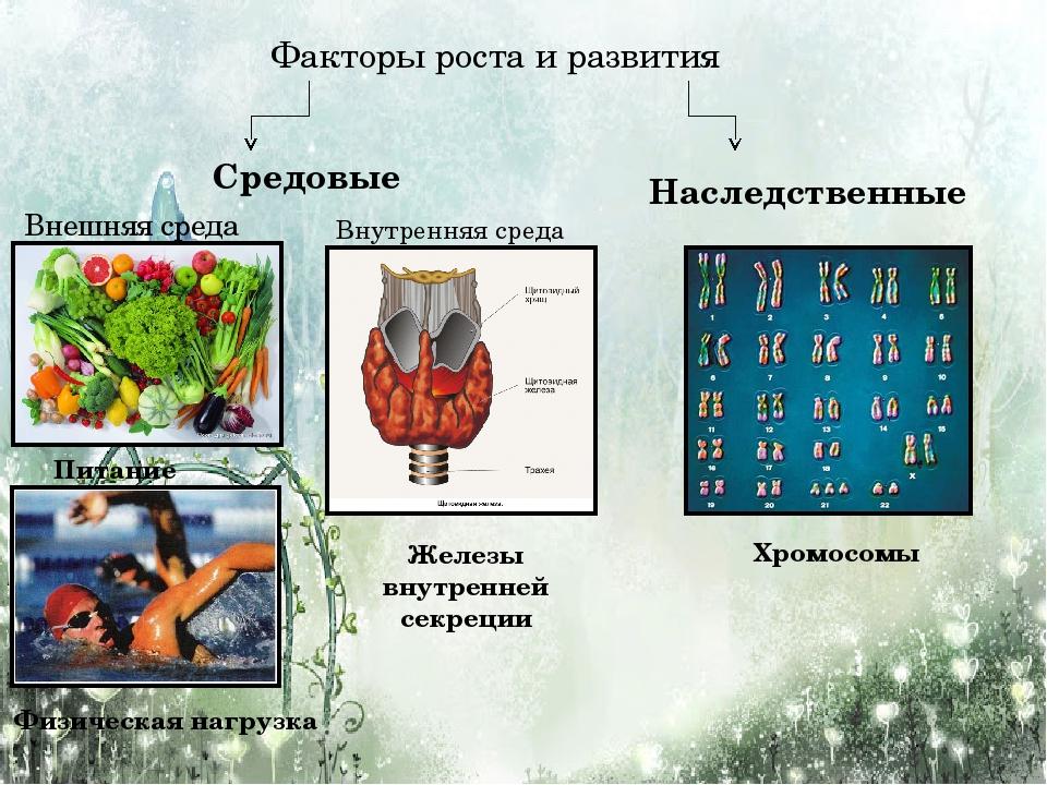 Факторы роста и развития Средовые Внешняя среда Питание Физическая нагрузка В...