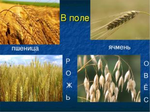 В поле Р О Ж Ь ячмень пшеница О В Ё С