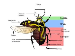 В строении груди жуков различают три сегмента: переднегрудь, подвижно соедине