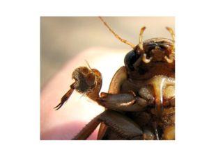 Передние крылья жуков в процессе эволюции превратились в жесткие надкрылья, н