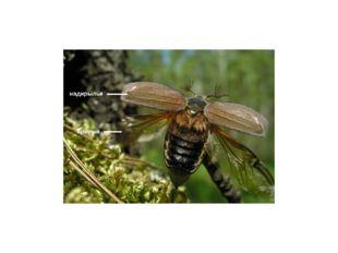 У видов с редуцированными нижними крыльями надкрылья обычно срастаются, образ
