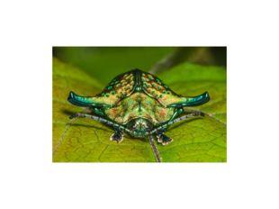 Половой диморфизм жуков обычно выражается в размерах и окраске особей противо