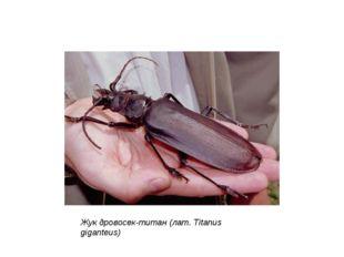 Жук дровосек-титан (лат. Titanus giganteus) Размеры жуков, входящих в отряд ж