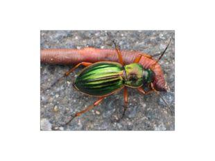 Чем питаются жуки? Среди насекомых, входящих в отряд жесткокрылые, встречаютс