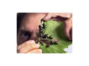 Кроме того, пища жуков зависит от стадии развития насекомого. Имаго некоторых