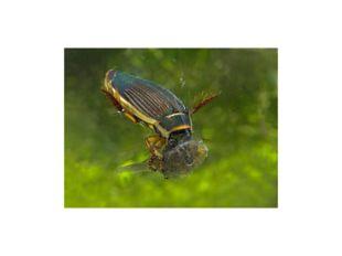 Жесткокрылые своей жизнедеятельностью оказывают положительное влияние на экос