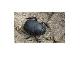 Для жуков, живущих в почве, характерна слегка выпуклая форма тела с мощной, р