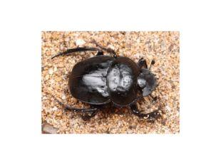 Пластинчатоусые (лат. Scarabaeidae), которые включают в себя около 28 тыс. ра