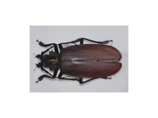 Усачи, илидровосеки(лат. Cerambycidae),насчитывающие в своих рядах около 2