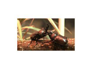 Размножение жуков. Стадии развития жуков. Самцы практически всех видов жестко