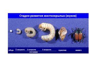 Жесткокрылые относятся к высшим насекомым, поэтому их жизненный цикл происход