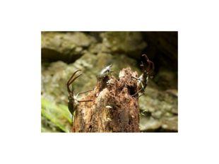 Стадия яйца.Самка жука откладывает оплодотворенные яйца в укромные места, в