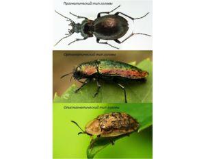 Голова жука может быть: Прогнатической (ротовые органы и усики направлены впе