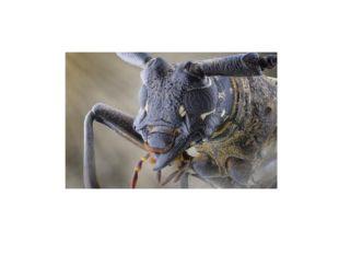 По бокам располагаются хорошо развитые, сложные фасеточные глаза жука, состоя