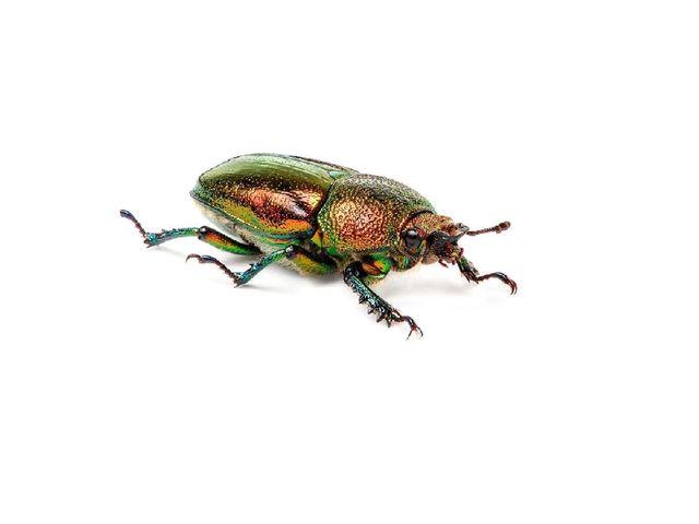 Характерной особенностью жесткокрылых, или жуков, является наличие твердых хи...