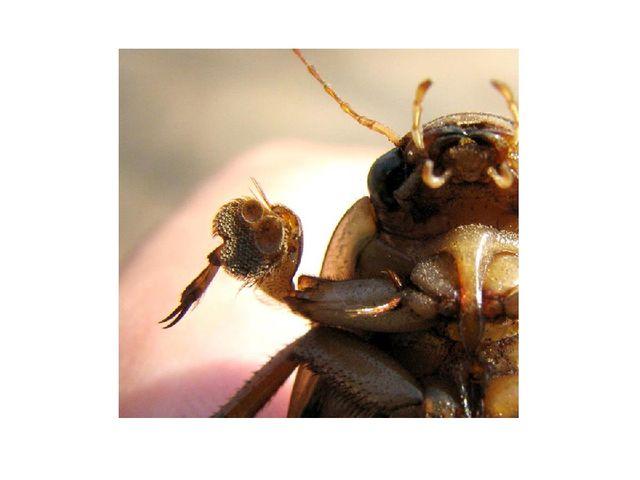 Передние крылья жуков в процессе эволюции превратились в жесткие надкрылья, н...
