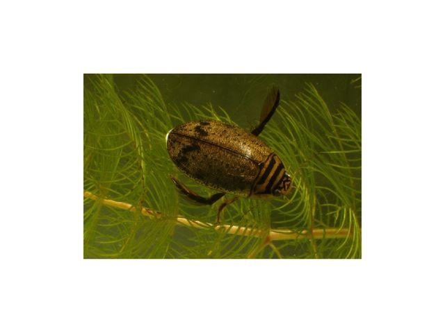 В многочисленный отряд жесткокрылых входят виды жуков, которые селятся в прип...